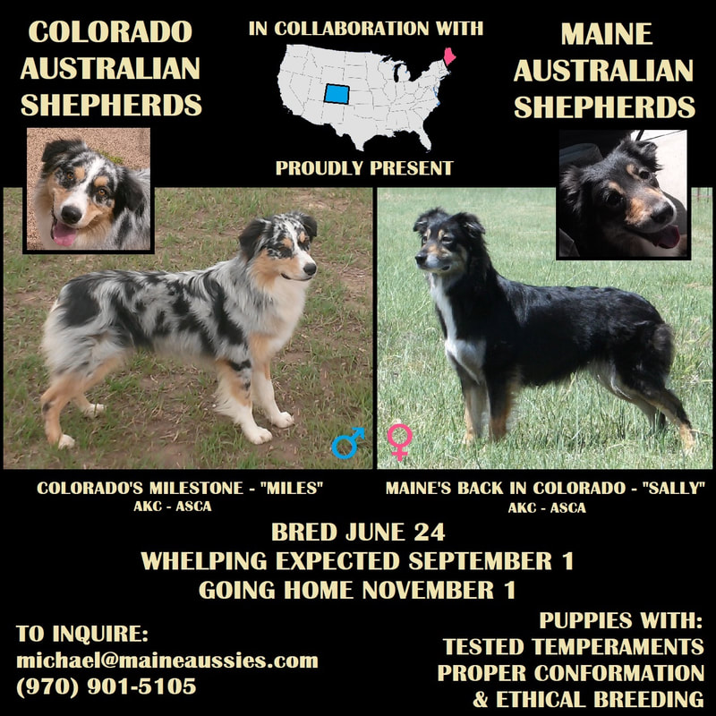 Maine Australian Shepherds - Aussie Breeders New England & Colorado